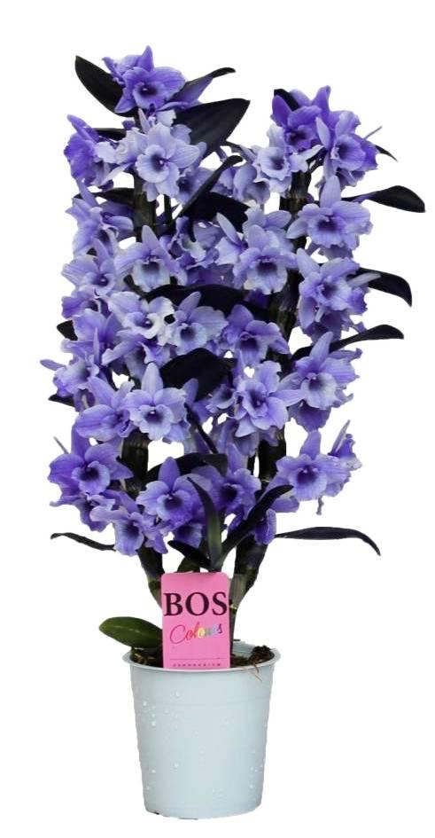 dendrobium nobile farbe 39 39 purple zweiter zweig florastore. Black Bedroom Furniture Sets. Home Design Ideas