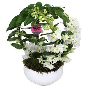 Dendrobium Nobilé, Double Bow
