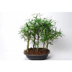 Bambusa Ventricosa grove (Buddha Belly)