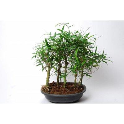 Bambusa Ventricosa bosje (Buddha Belly)