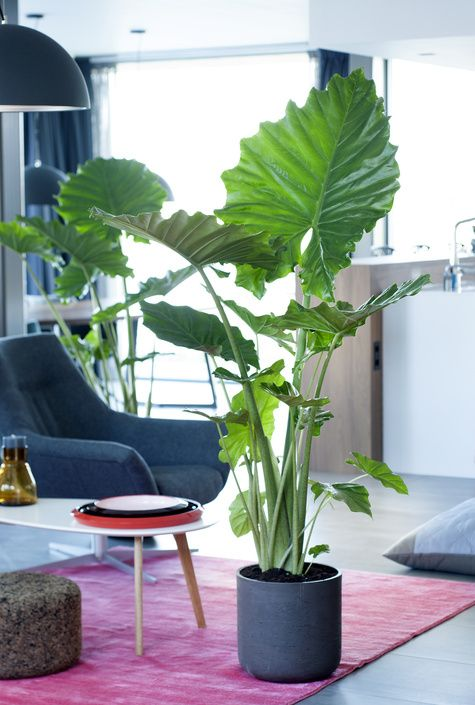 Alocasia Residential plant of the month of September