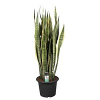 Sansevieria Laurentii 30 + leaves XL