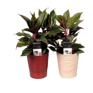 Aglaonema Crete in ornamental pot Sonora