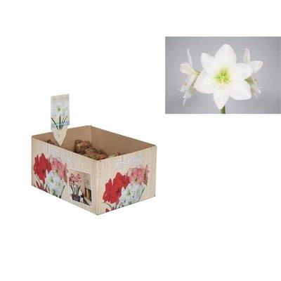 Bollen Amaryllis (dry bulb 28/30) White