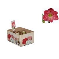 Bollen Amaryllis (dry bulb 22/24 cm) Pink