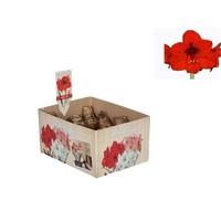 Bollen Amaryllis (sec ampoule 22/24 cm) rouge