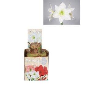 Bollen Amaryllis (bulbe sec 32 cm) Blanc