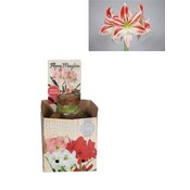 Bollen Amaryllis (dry bulb 32 cm) Flaming Striped