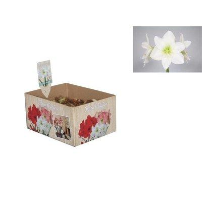 Bollen Blumenzwiebeln Amaryllis (Trockenbirne 32 cm) Weiß