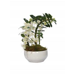 Dendrobium Nobilé besondere Bumerang zwei Pflanzen