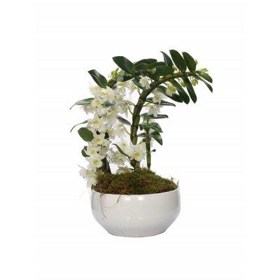 Dendrobium Nobilé special boomerang twee planten