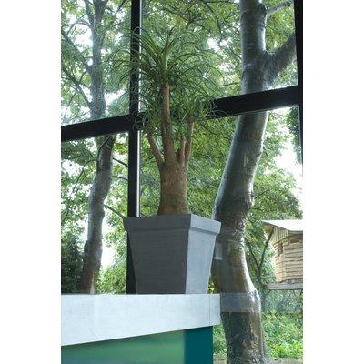 Beaucarnea (Olifantspoot) Nolina 150 cm