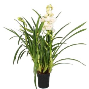 Cymbidium paddy green 4 + Zweige - Copy