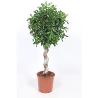 Ficus Nitida, a beautiful plant with a spiral tribe.