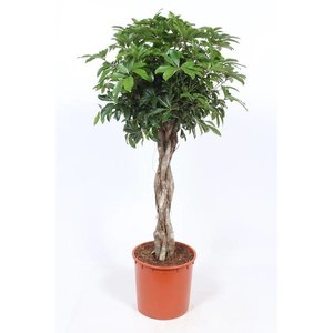 Schefflera Compacta braided trunk