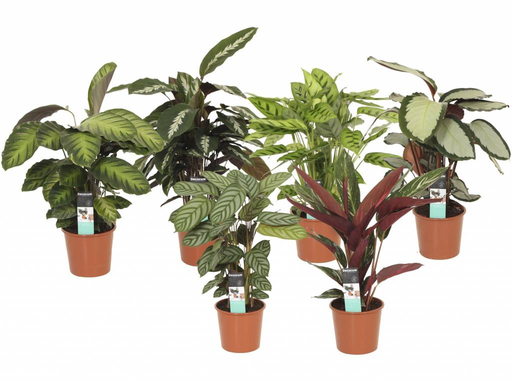 calathea in einem topf gemischt 12 cm florastore. Black Bedroom Furniture Sets. Home Design Ideas