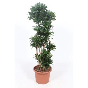 Dracaena Compact, extra heavy branched