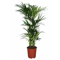 Palm Palme Kentia