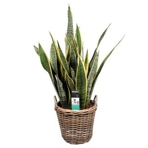 Sansevieria Laurentii in basket 27 cm