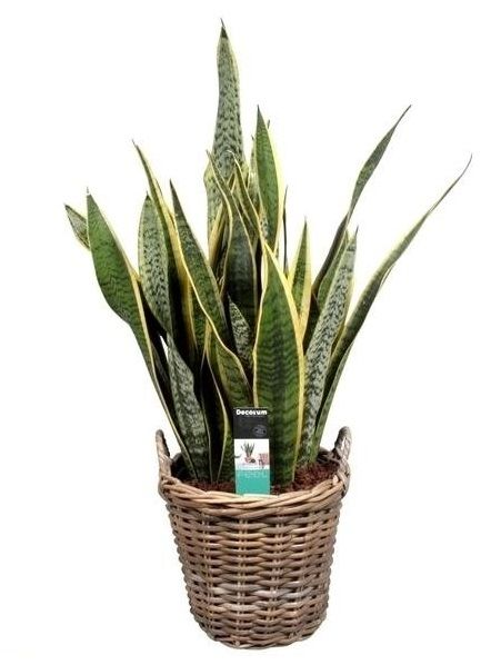 sansevieria laurentii purificateur d 39 air florastore. Black Bedroom Furniture Sets. Home Design Ideas