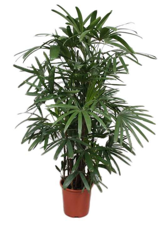rhapis excelsa 150 cm florastore. Black Bedroom Furniture Sets. Home Design Ideas