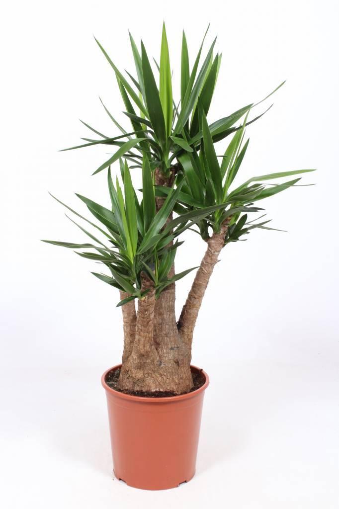 Yucca kopen florastore for Yucca elephantipes exterieur