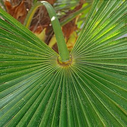 Eagle Palm