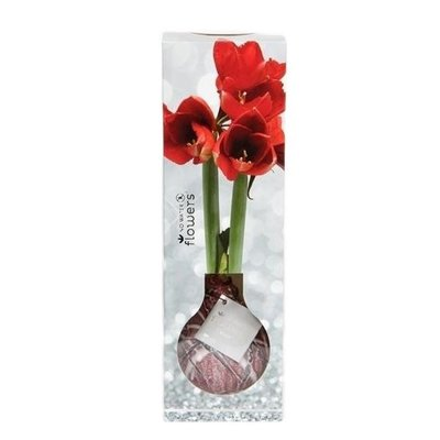 Amaryllis No Water Flowers Waxz® Luxery Box