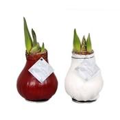 Amaryllis Amaryllis Kein Wasser, Blumen Waxz®