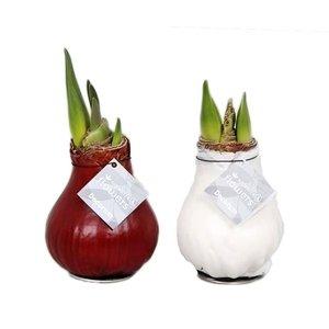 Amaryllis Pas de fleurs d'eau Waxz®