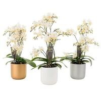 Phalaenopsis Willd weiße Weihnachten im Keramiktopf