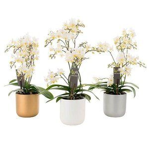 Phalaenopsis Phalaenopsis Willd weiß in Keramik Topf