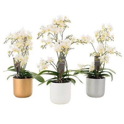 Phalaenopsis Willd white in kerst keramiek pot