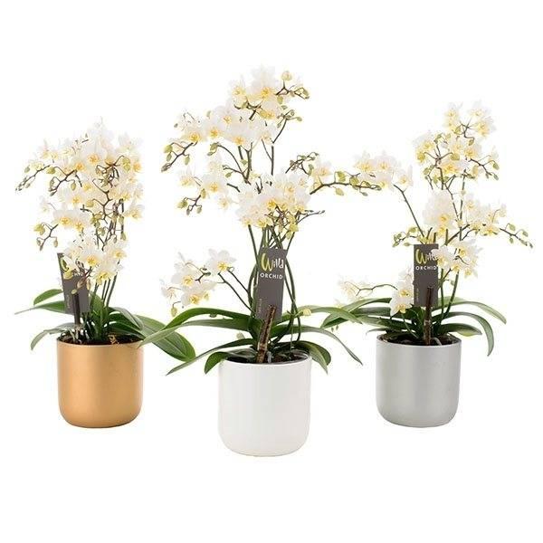 phalaenopsis willd wei in keramik topf florastore. Black Bedroom Furniture Sets. Home Design Ideas