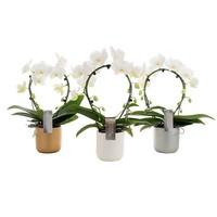 Phalaenopsis Phalaenopsis Spiegel im luxuriösen Keramiktopf