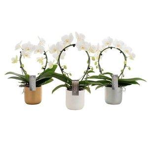 Phalaenopsis Phalaenopsis Miroir dans un pot en céramique luxueux