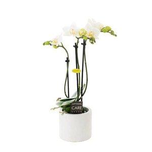 Phalaenopsis Mini Flora 3 Zweig anna
