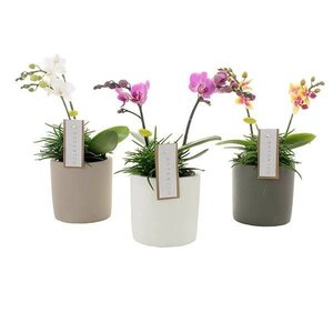 Phalaenopsis Phalaenopsis Botanico 2 branche mix + senecio en céramique