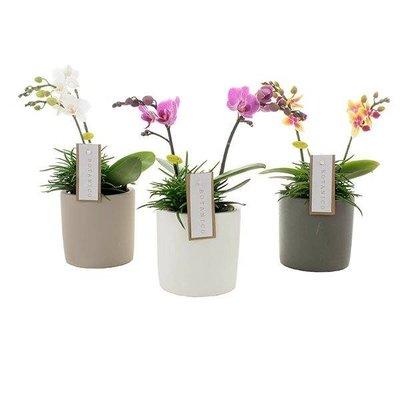 Phalaenopsis Botanico 2 Zweig Mischung + Senecio in Keramik
