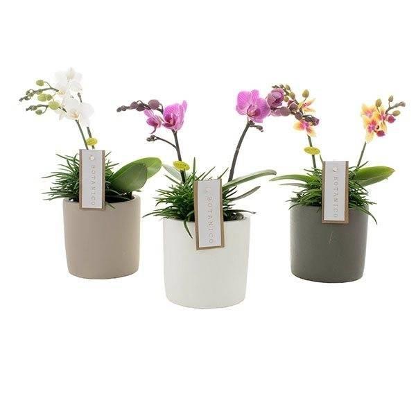 Phalaenopsis Botanico 2 tak mix+senecio in keramiek