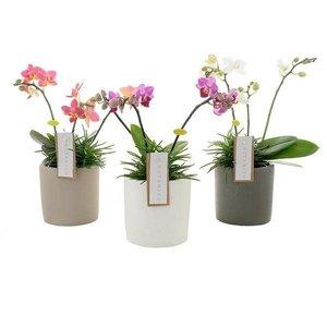 Phalaenopsis mélange botanique 3 branche + Senecio en céramique