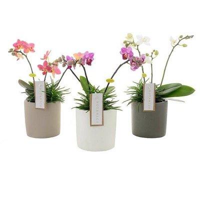 Phalaenopsis Botanico 3 Zweig Mischung + Senecio in Keramik