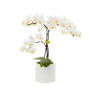 Phalaenopsis 3 branch 7 cm lilly dance in round white