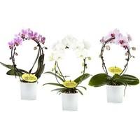 Phalaenopsis Spiegel im Glastopf