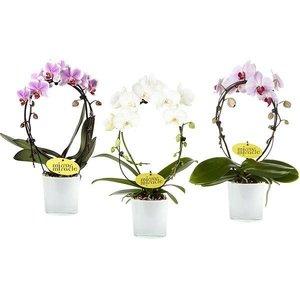 Phalaenopsis Phalaenopsis Mirror in glass pot