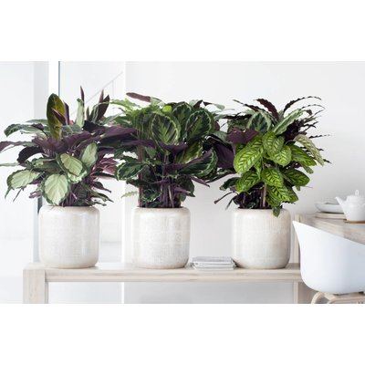 Calathea Compact-Sterne-P 17