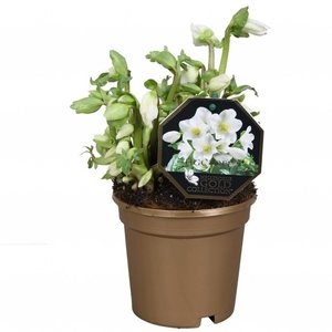 Helleborus Niger Gold Collection without leaf