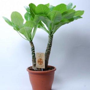 Brighamia Insignis Hawaiian Palm twee stammen