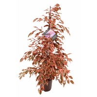 Ficus Ficus benjamina Twilight Make-Upz®