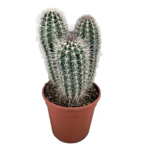 Cactus For the enthusiast